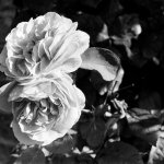 Christina Rossetti on the beauty of the rose