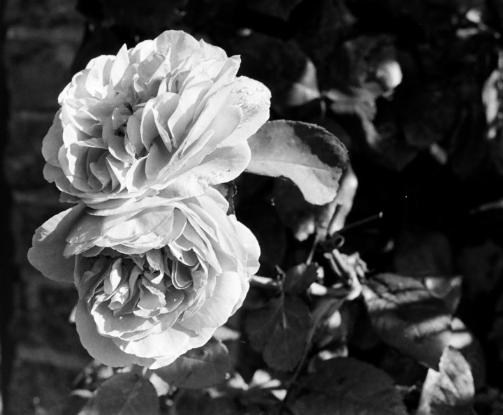 Roses image for Mother's Day